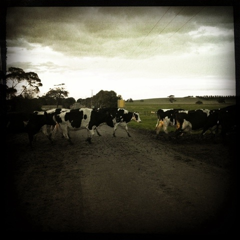 Day 121. Give Way to the Cows