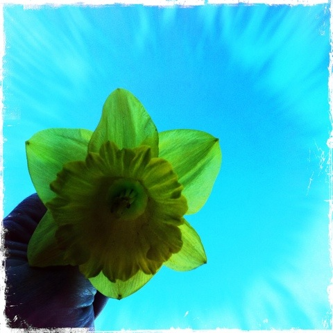 Day 134. daffodil in the sky