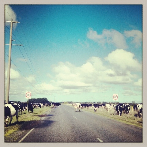 Day 861. cows at 100