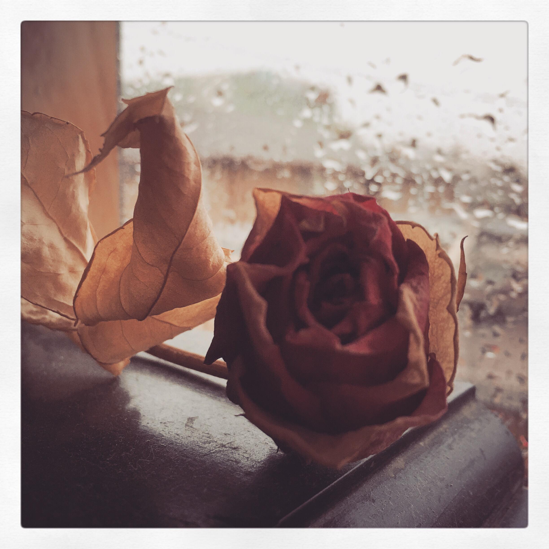 Day 1558. rainy day rose…