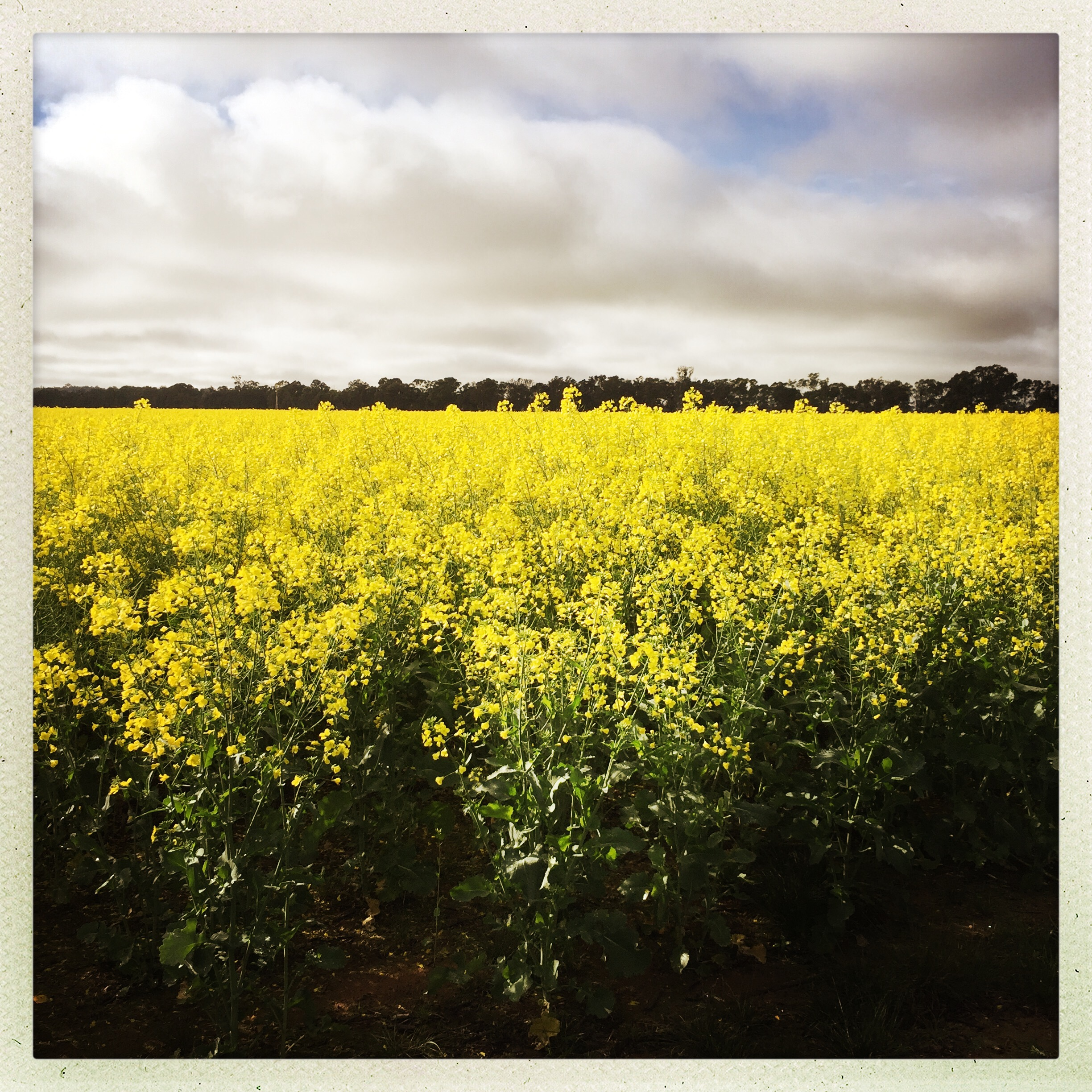 Day 1960. canola for days…